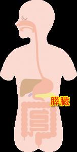 膵臓 (2)